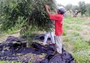 Sus consideraciones se suman a los dichos de productores olivícolas que afirman que actualmente solo hay 10 mil hectáreas de las 30 mil que hubo en el mejor momento del sector en la Provincia.