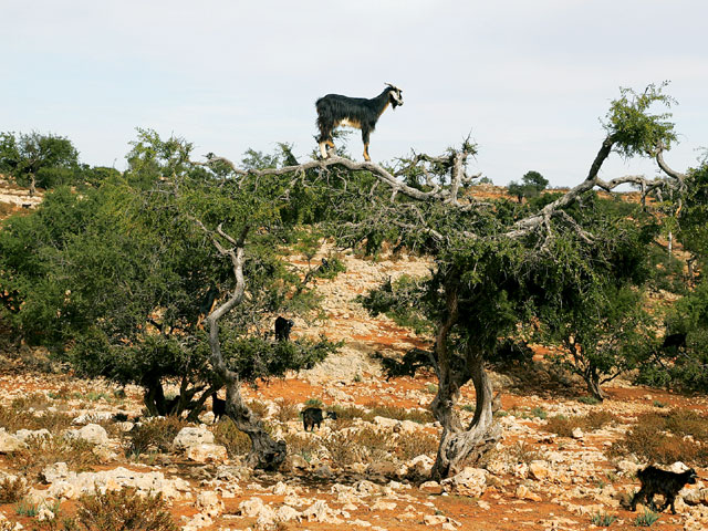 Why Goats Went On Tree In Morocco? - Really Amazing And ...