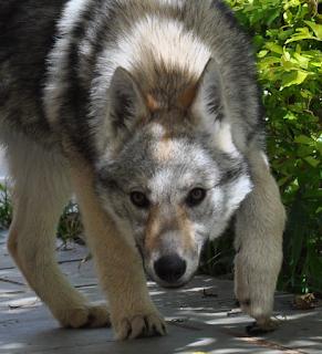 Cão Lobo Checoslovaco, cachorro informativo.