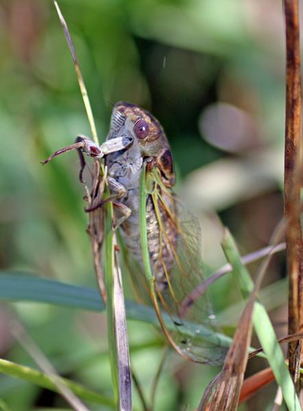 Dog Day Cicada Habitat