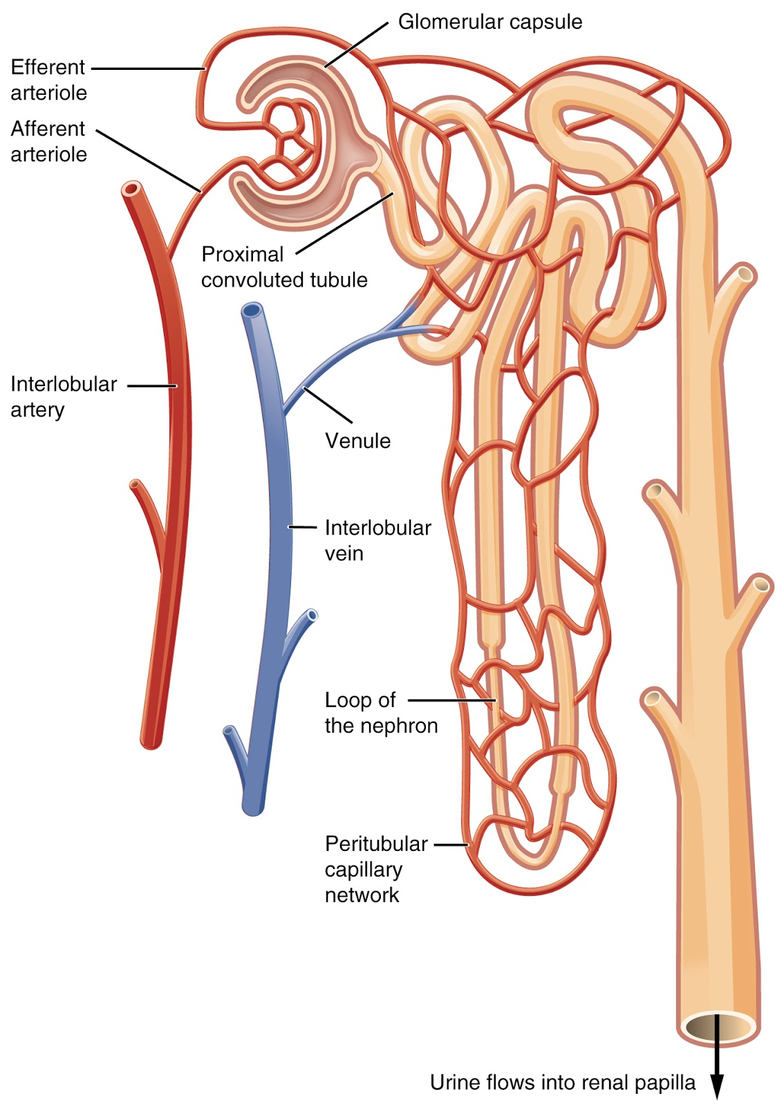 small resolution of structure of nephron