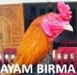 Ayam Birma Asli dan Campuran