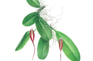 Anggrek iriana  (Bulbophylum Irianae )