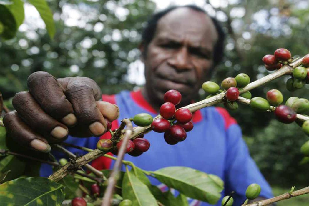petani papua jual kopi dengan harga murah dapat dilihat di situs kope wamena paling murah dan jual tonase