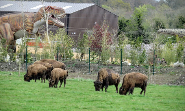 Tayto Park - Herd of Buffalo
