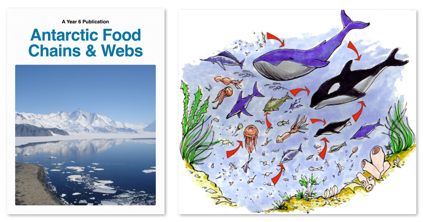 6a Antarctic Food Chains Amp Webs