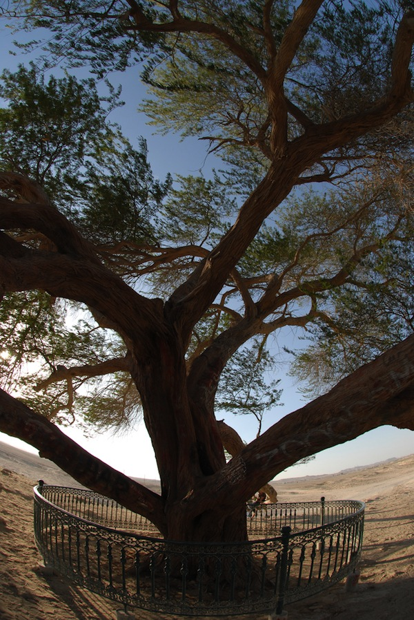 تعرفوا على شجرة الحياة فى البحرين 4O59F1.jpg