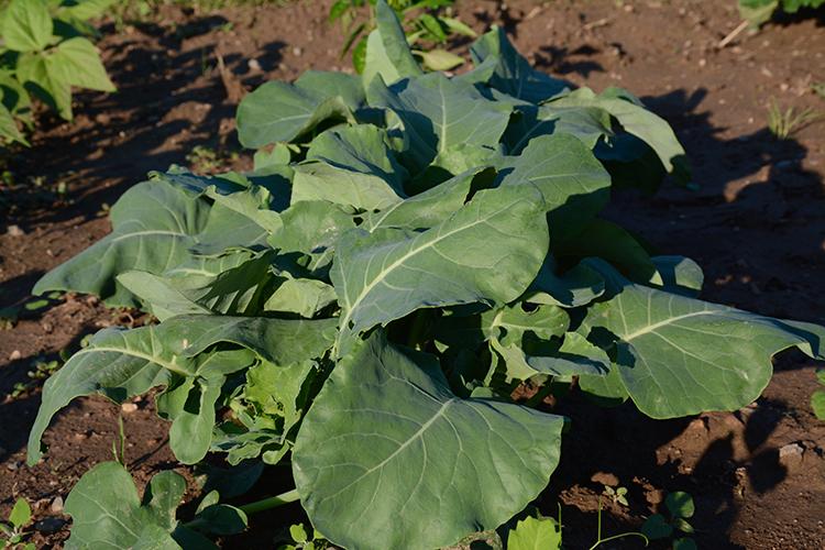 Gardening; broccoli | My Darling Days