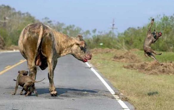 Anjing Lawan Lembu, Siapa yang Menang?
