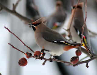 bohemian waxwing,beautiful birds names and pictures
