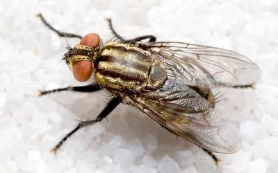 lalat\