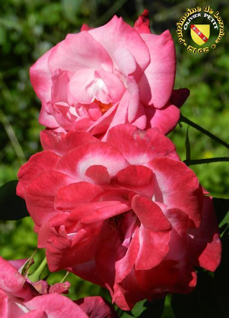 VILLERS-LES-NANCY (54) - La roseraie du Jardin botanique du Montet - Rose Albert Poyet