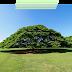 Pohon Hitachi di Taman Moanalua