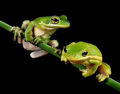 imagenes de ranas verdes