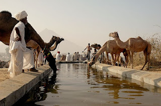 Photograph of people and camels at a watering point at Pushkar Camel Fair