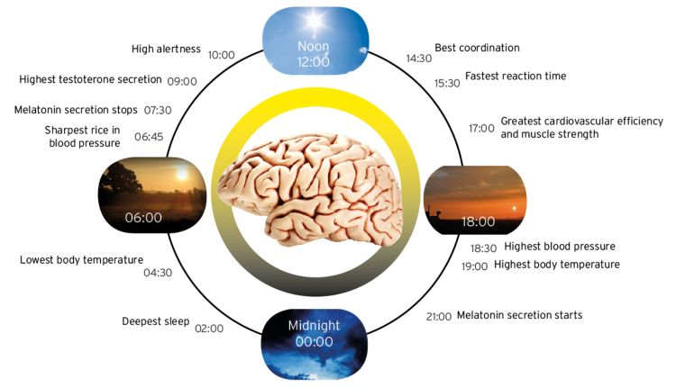 the important role of light in the circadian rhythm Retinal photoreceptors play a key role in the circadian organization of the whole organism since they are the only source of photic input to the scn and, hence, to the rest of the body some investigations have reported changes in several parameters of the circadian rhythm in locomotor activity after photoreceptor degeneration or bilateral .