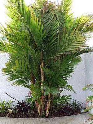 pohon peji