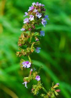 Fichas de Planta medicinales