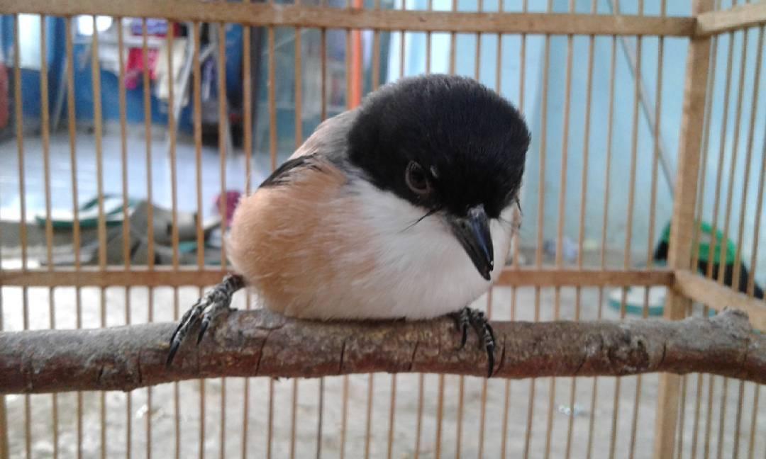 Cara Mengatasi Burung Cendet Manja