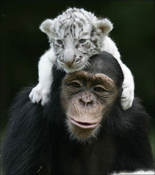 A monkery holding a little tiger