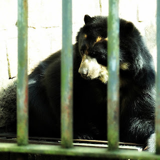 Urso-de-óculos no Parque Zoológico de Sapucaia do Sul
