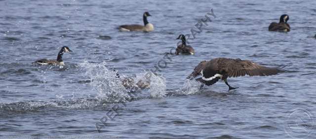 Canada goose running on water