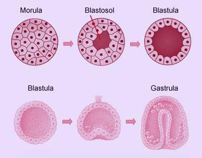 Proses Fertilisasi, Kehamilan dan Perkembangan Embrio