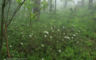 http://fotobabij.blogspot.com/2015/10/bagno-zwyczajne-rhododendron-tomentosum.html