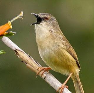 Kombinasi Suara Kicau Burung Kecil Masteran