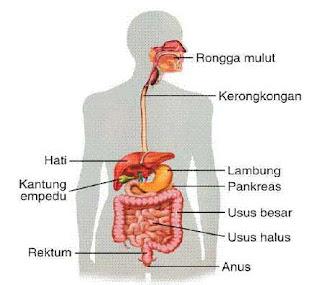 Organ Penyusun Sistem Pencernaan Pada Manusia