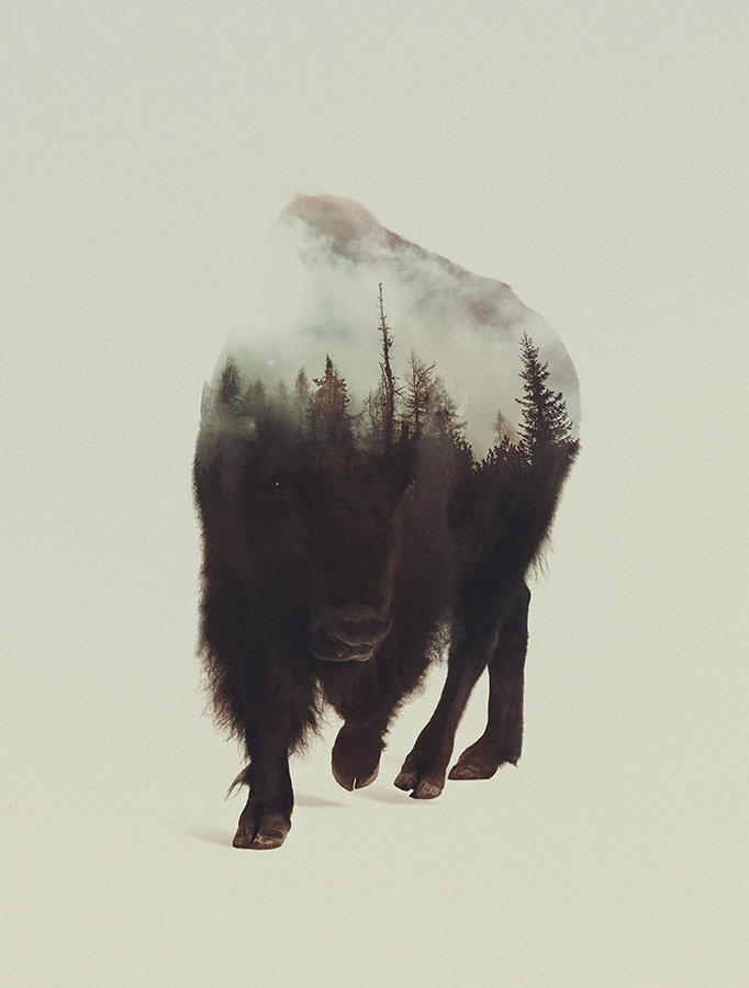 07-Night Bison-Andreas-Lie-Animals-in-Photographic-Double-Exposures-www-designstack-co