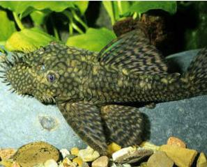 Ikan Sapu Sapu Bristlenose pleco