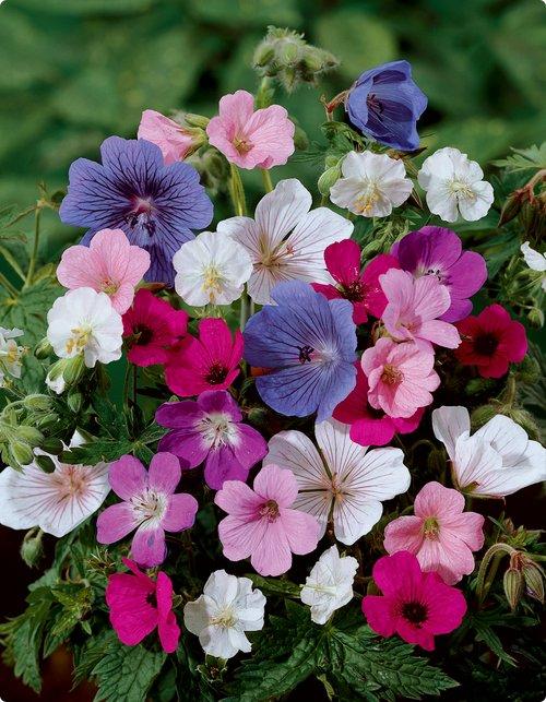 Hoa Phong Lữ là loài hoa thuần khiết, rất đẹp