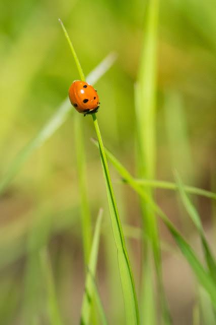 Ladybug, LLELA