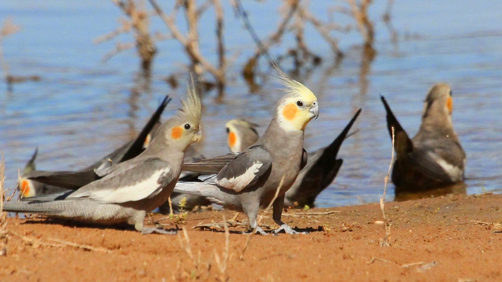 Richard Warings Birds of Australia Colourful Parrots