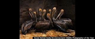 Wildlife Photographer of the Year pellicani
