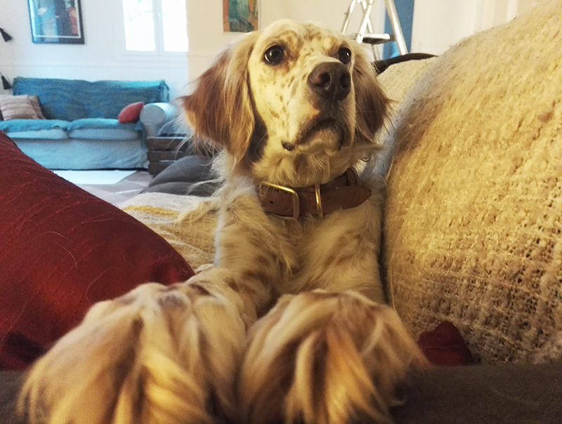 Elsa, and English Setter dog, on a sofa