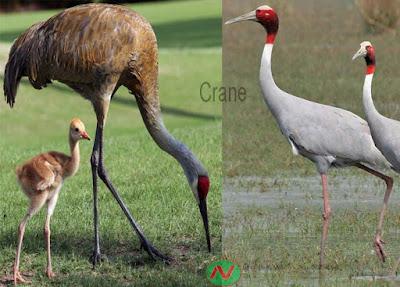 crane bird, সারস