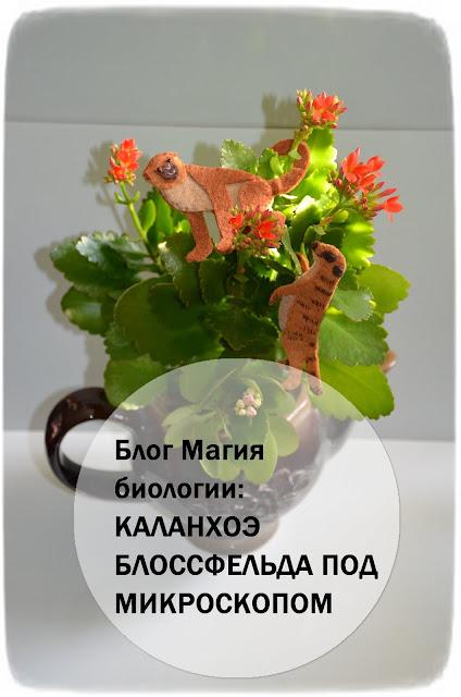 kalanhoeh-blossfelda-pod-mikroskopom