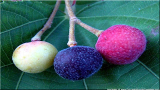 phalsa fruit images wallpaper