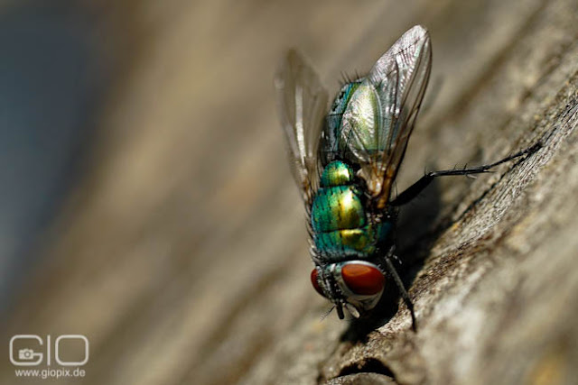 Photo of a fly exercising a handstand