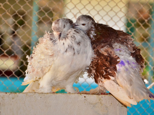 O pombo-cacheado é uma raça ornamental, conhecida pelas ondulações nas penas das asas e dos pés. Sua plumagem pode ser mesclada ou de cor única; preto, branco e marrom .