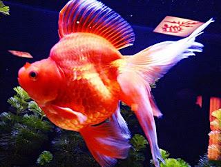 Gambar Ikan Mas Koki Ryukin