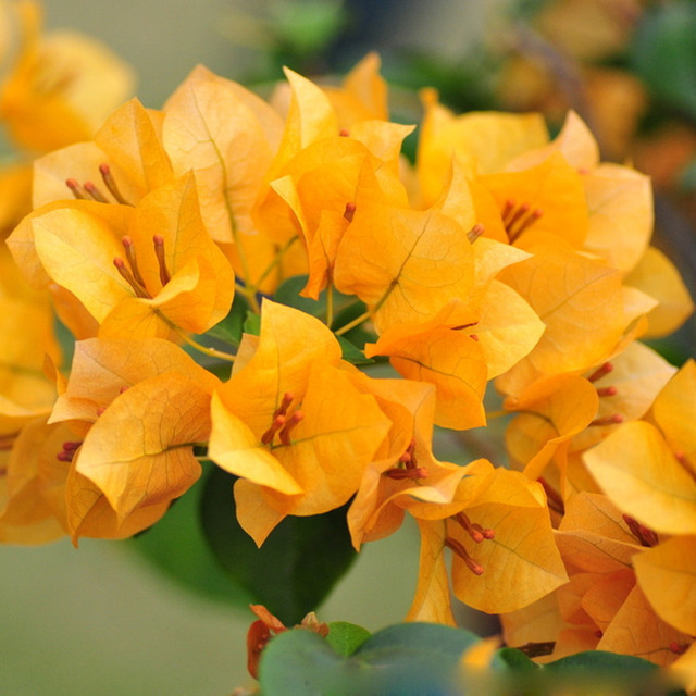 cây hoa giấy màu cam