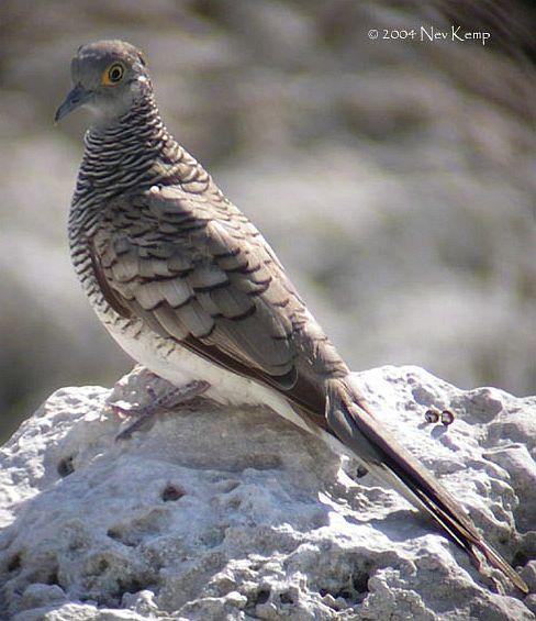 Kicau Burung: Burung Perkutut