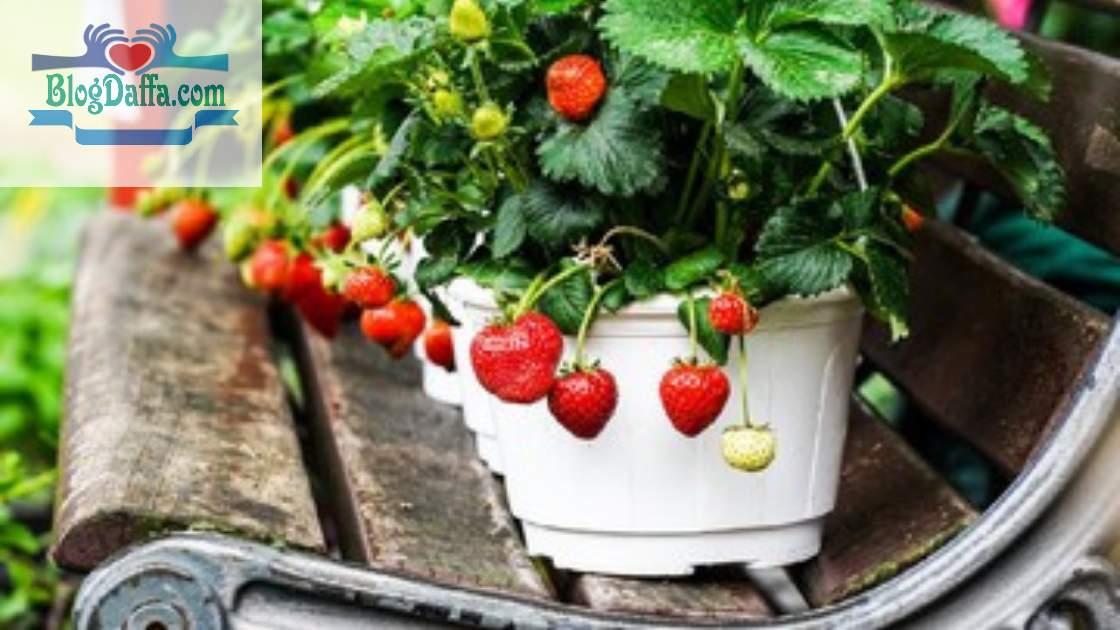 Syarat tumbuh strawberry