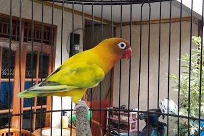 lovebird gs, green series, cara cetak lovebird gs
