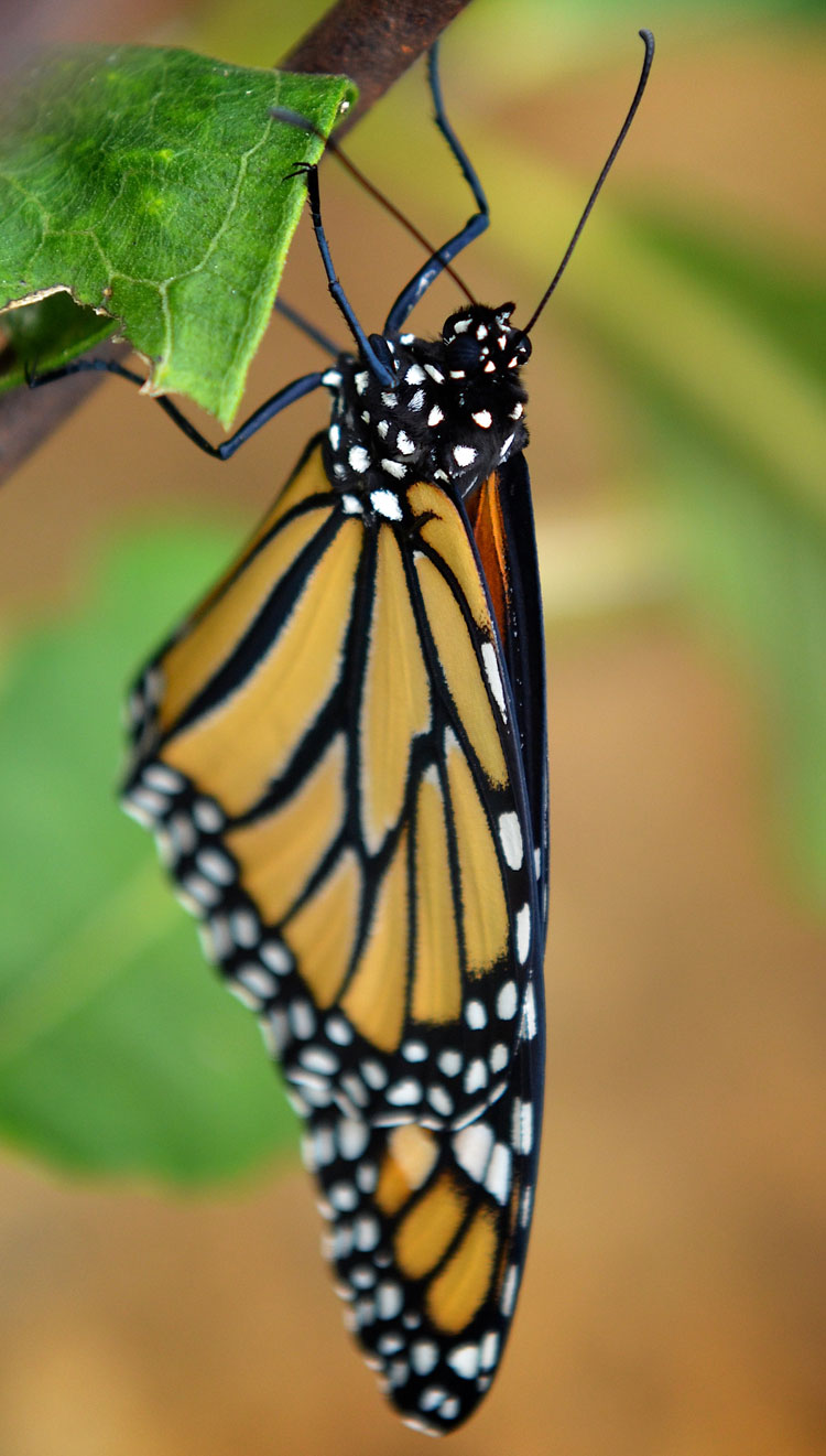 Black and white polka dots act as disruptive camouflage for the butterfly.