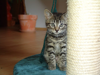 A brown tabby kitten sits by a scratching post.