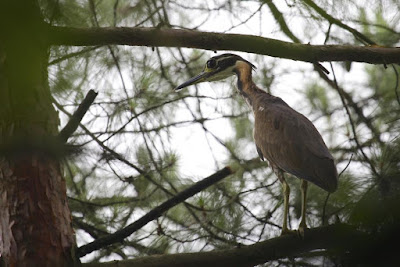 White eared Night Heron